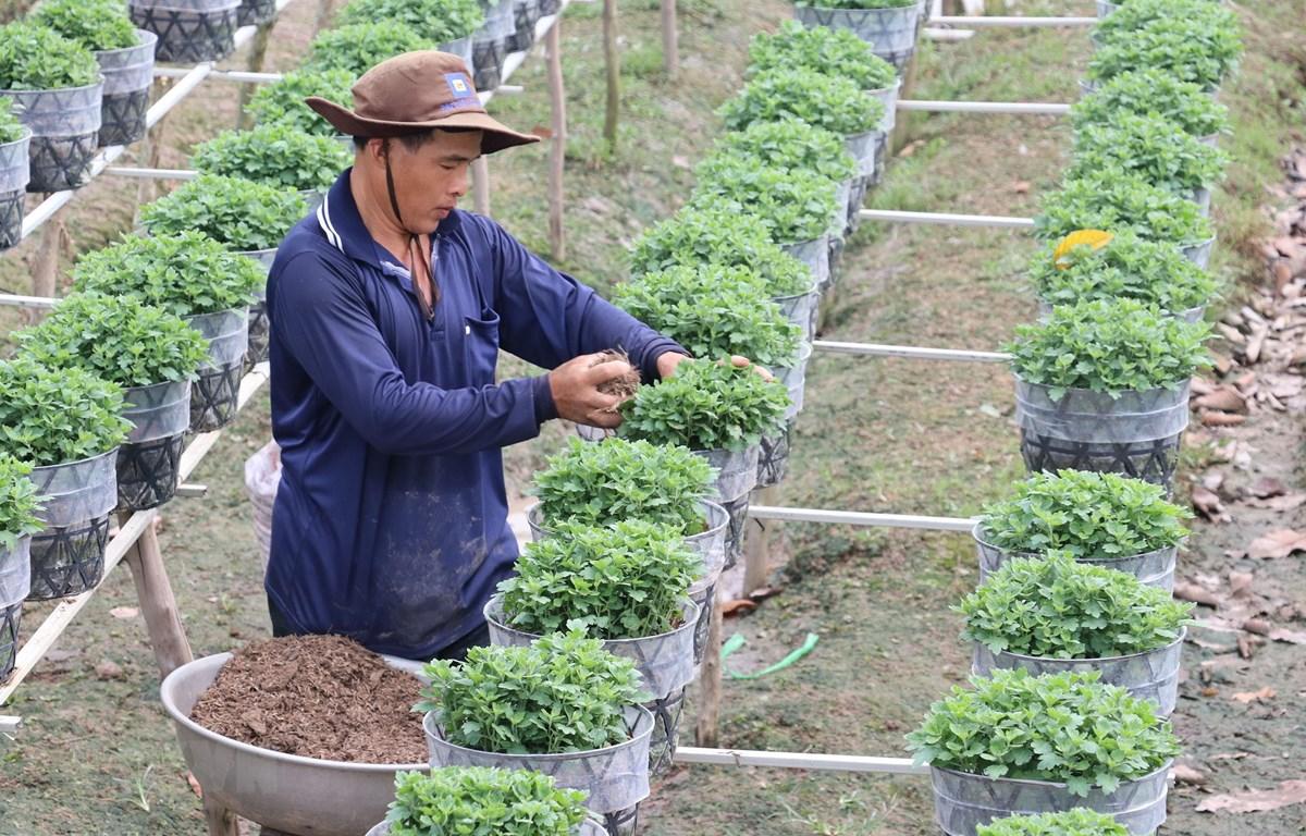 Các nhà vườn ở thành phố Sa Đéc chăm sóc cúc mâm xôi phục vụ thị trường tết Nguyên Đán 2020. (Ảnh: Nguyễn Văn Trí/TTXVN)