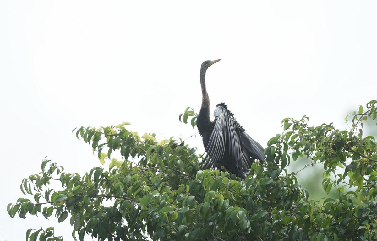 Đàn chim cổ rắn khoảng 500 con vừa được phát hiện tại Đồng Nai. (Ảnh: Sỹ Tuyên/TTXVN)