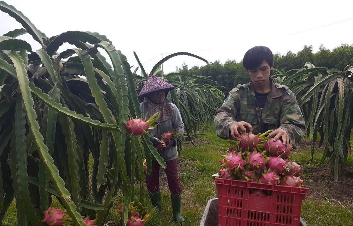 Thu hoạch thanh long trái vụ tại vườn gia đình anh Phạm Quang Trượng (ấp 1, xã Bưng Riềng, huyện Xuyên Mộc). (Ảnh: Hoàng Nhị/TTXVN)