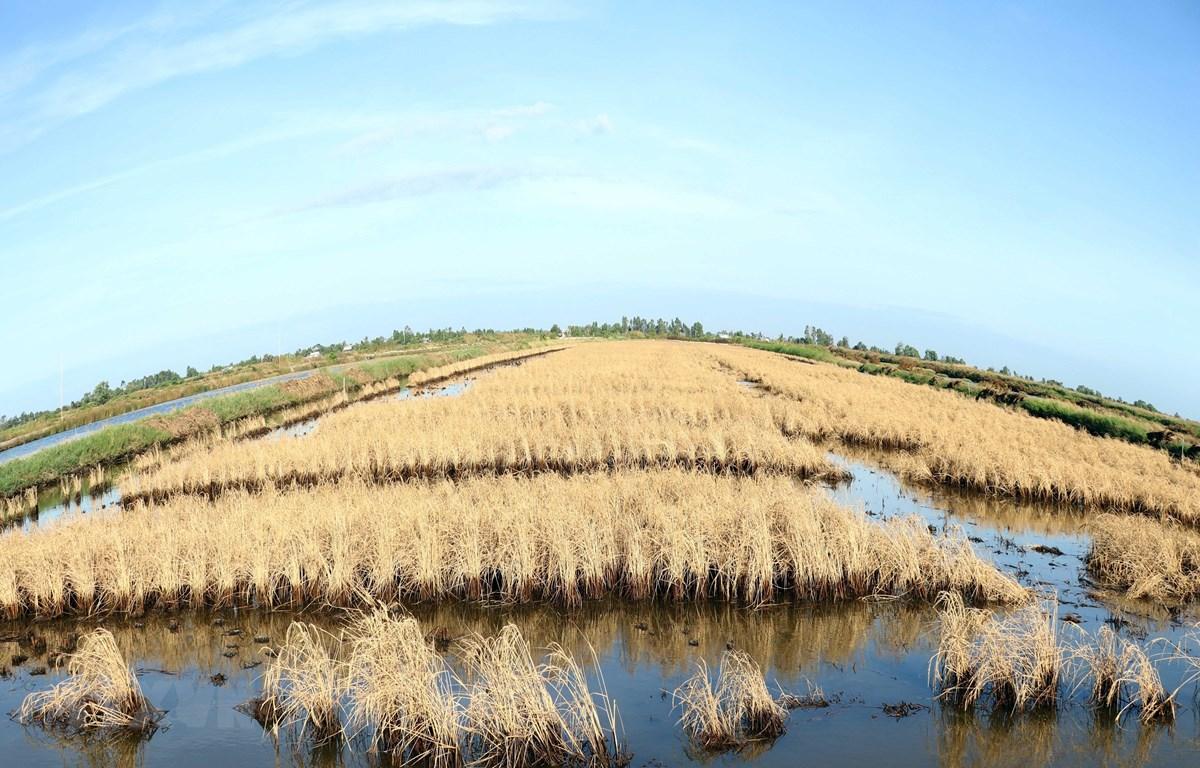 Hạn, mặn đã gây thiệt hại cho nhiều diện tích lúa mùa của huyện Thới Bình. (Ảnh: Thế Anh/TTXVN)
