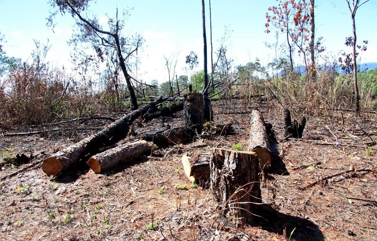 Hàng trăm gốc cây thông đã bị đốt cháy, đốn hạ nằm la liệt. (Ảnh: Đặng Tuấn/TTXVN)