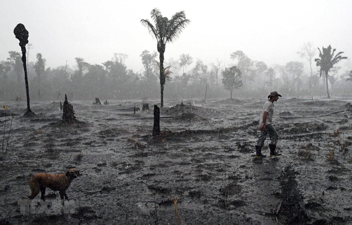 Cây bị thiêu rụi sau vụ hỏa hoạn tại rừng Amazon, gần Porto Velho, bang Rondonia, Brazil. (Ảnh: AFP/TTXVN)