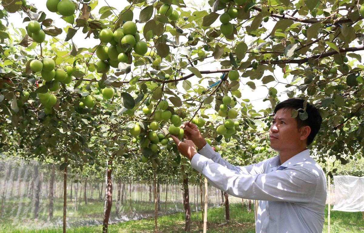 Thạc sỹ Nguyễn Văn Chính, Giám đốc Trung tâm bảo vệ thực vật - Viện nghiên cứu Bông và Phát triển nông nghiệp Nha Hố kiểm tra vườn táo giống TN-05. (Ảnh: Nguyễn Thành/TTXVN)
