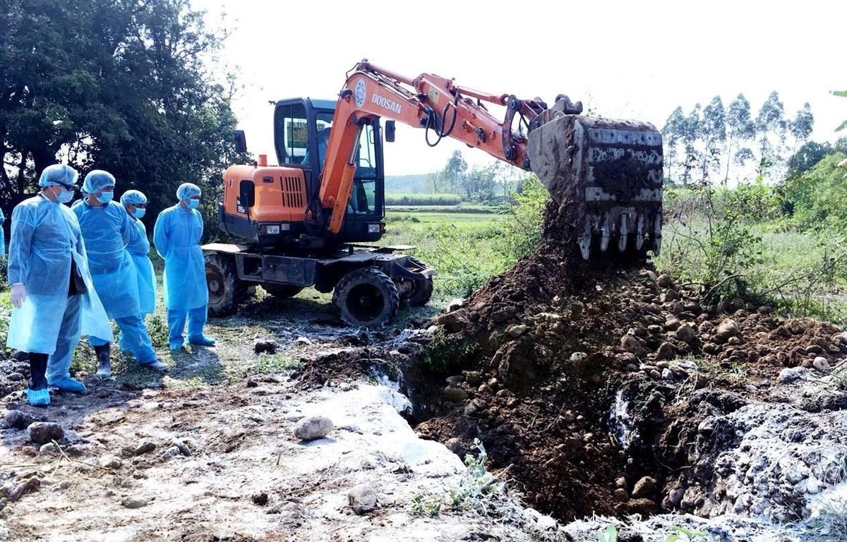Lực lượng chức năng tỉnh Quảng Ninh tổ chức tiêu hủy chôn lấp toàn bộ đàn lợn bị nhiễm dịch tả châu Phi. (Ảnh: Văn Đức/TTXVN)