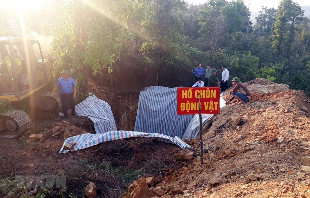Tổ chức tiêu hủy lợn bị dịch bệnh ở Sơn La. (Nguồn: TTXVN)