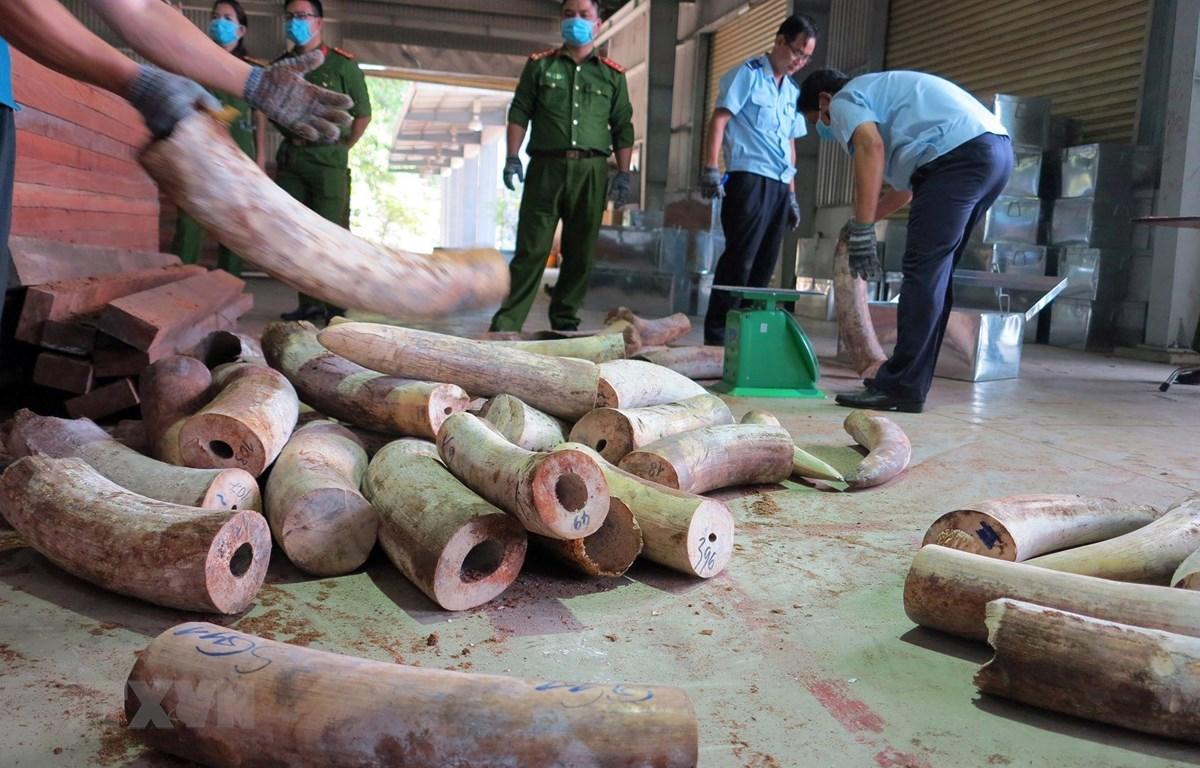 Lực lượng chức năng đang kiểm tra lô hàng, thu giữ nhiều ngà voi được cất giấu trong các hộp gỗ xẻ. (Nguồn: TTXVN phát)