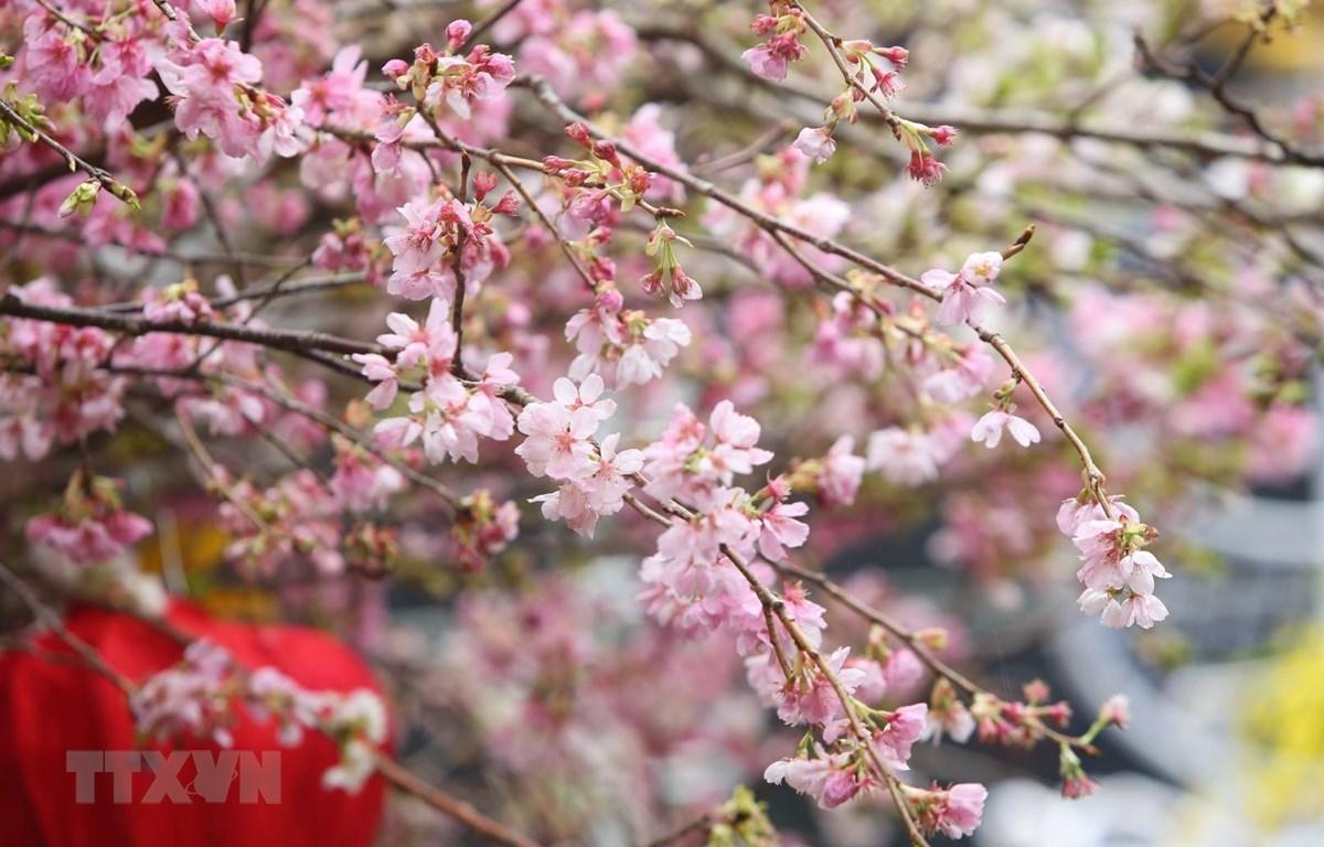 Vẻ đẹp rạng rỡ của hoa anh đào Nhật Bản. (Ảnh: Thành Đạt/TTXVN)