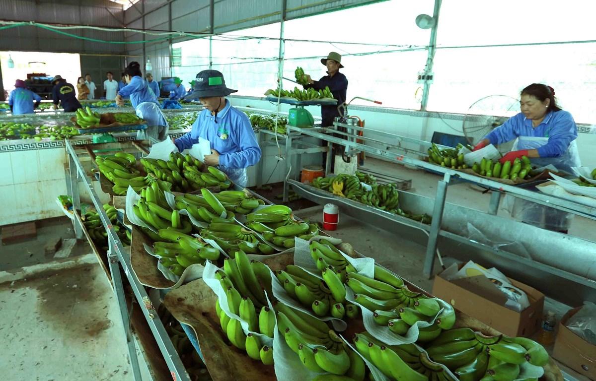 Sơ chế, đóng gói sản phẩm chuối xanh xuất khẩu. (Ảnh: Vũ Sinh/TTXVN)