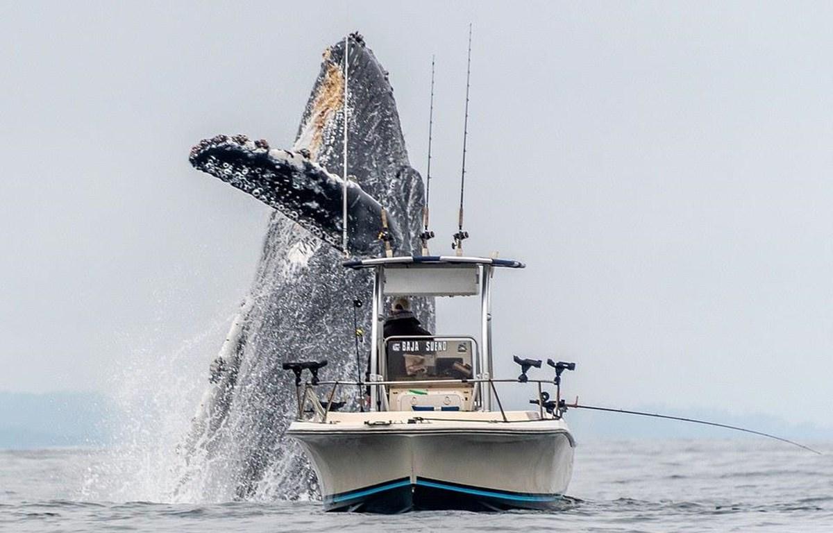 Khoảnh khắc tuyệt đẹp khi con cá voi lưng gù phi lên khỏi mặt nước ngay trước con thuyền đánh cá nhỏ. (Ảnh: Douglas Crof/Caters)