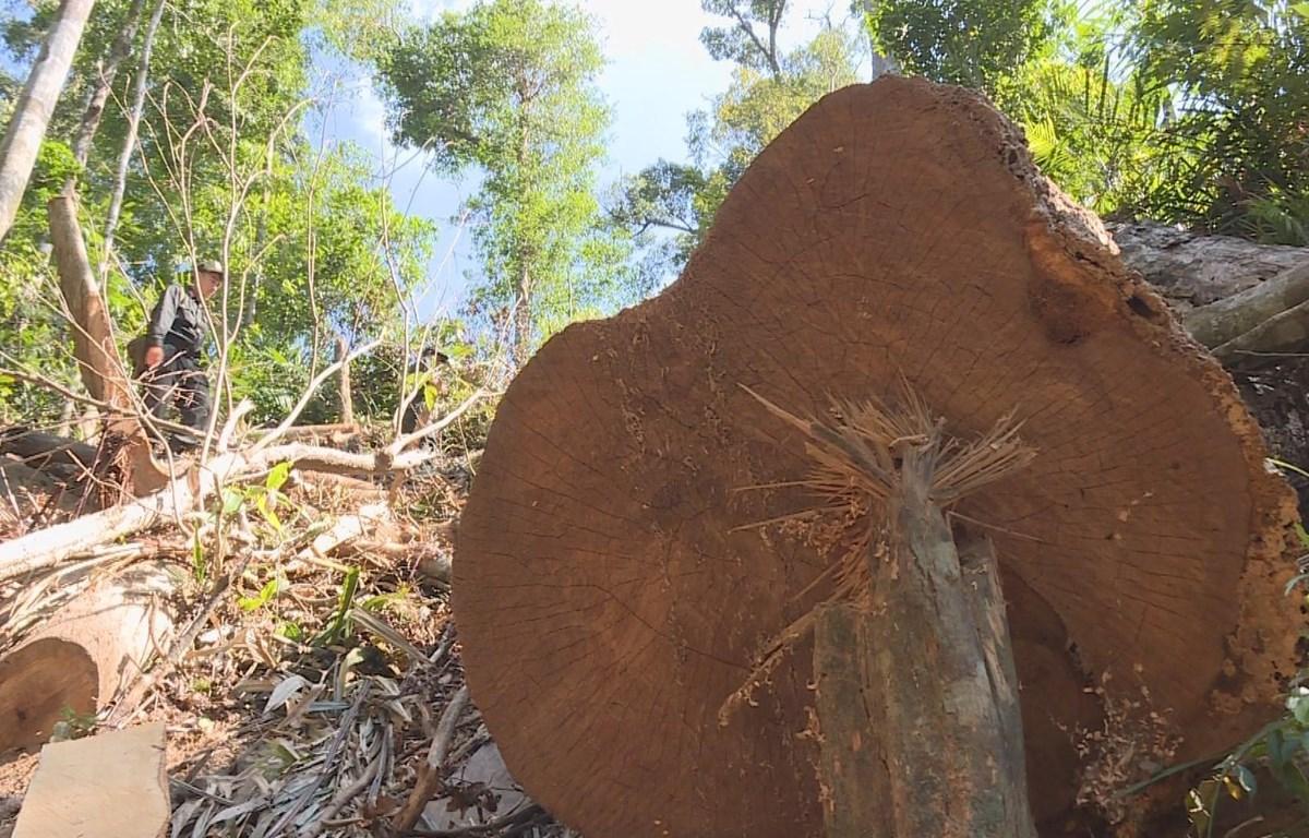 Hiện trường vụ phá rừng tại huyện Ea Kar, tỉnh Đắk Lắk, ngày 20/8. (Nguồn: TTXVN phát)