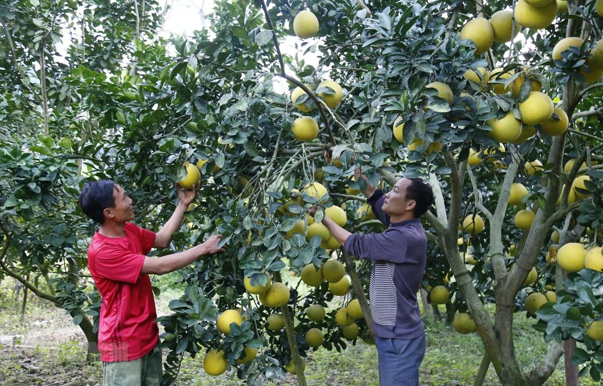 Anh Đăng (phải) trồng hơn 500 gốc bưởi cho thu nhập ổn định. (Ảnh: Nam Sương/TTXVN)