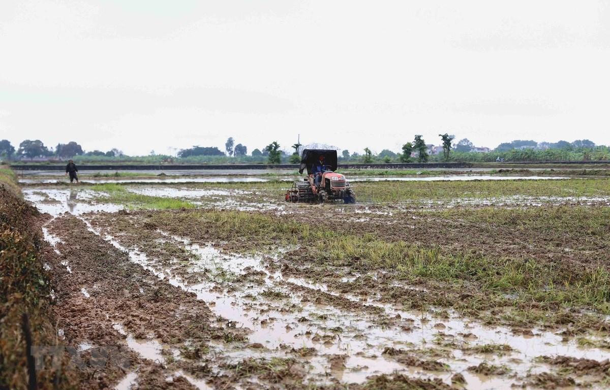 Nông dân xã Ngọc Mỹ, huyện Quốc Oai làm đất chuẩn bị cấy lúa vụ Đông Xuân 2019-2020. (Ảnh: Vũ Sinh/TTXVN)