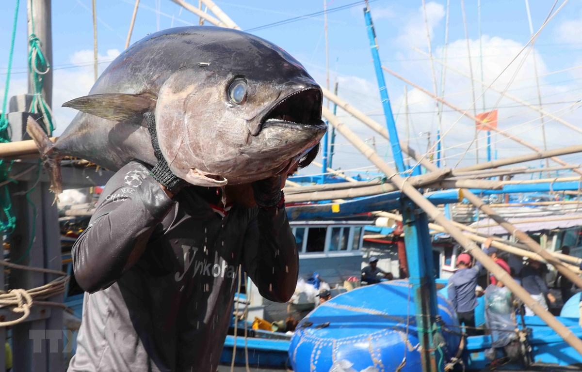 Ngư dân thành phố Tuy Hòa đưa cá ngừ từ tàu câu lên cảng cá Đông Tác, phường Phú Đông để bán cho thương lái. (Ảnh: Phạm Cường/TTXVN)