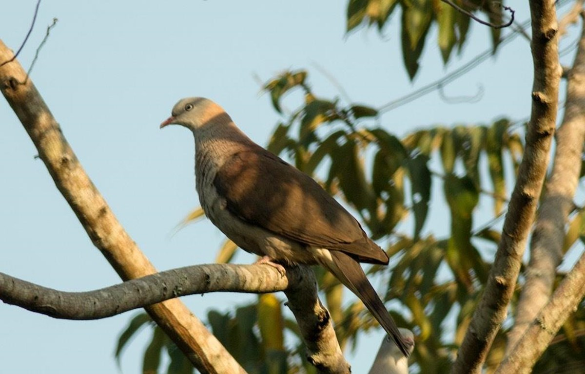 Chim Gầm Ghì lưng nâu quý hiếm. (Nguồn: birdwatchingvietnam.net)