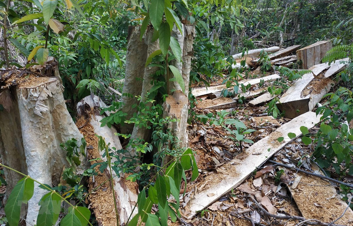 Hiện trường vụ phá rừng tại khu vực giáp ranh với lô 1, khoảnh 1, tiểu khu 617 của Khu bảo tồn thiên nhiên Ea Sô. (Ảnh: Tuấn Anh/TTXVN)