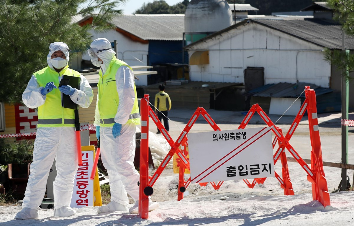 Trong ảnh: Nhân viên kiểm dịch phong tỏa lối vào trang trại nơi phát hiện trường hợp lợn nhiễm bệnh nghi là tả lợn châu Phi tại Gimpo, Hàn Quốc, ngày 23/9/2019. (Nguồn: Yonhap/TTXVN)