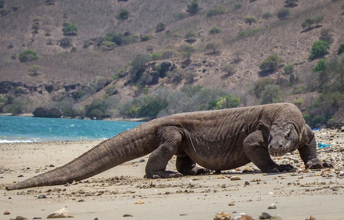 Số lượng rồng Komodo quý hiếm tương đối ổn định và không bị đe dọa. (Nguồn: timetravelturtle)