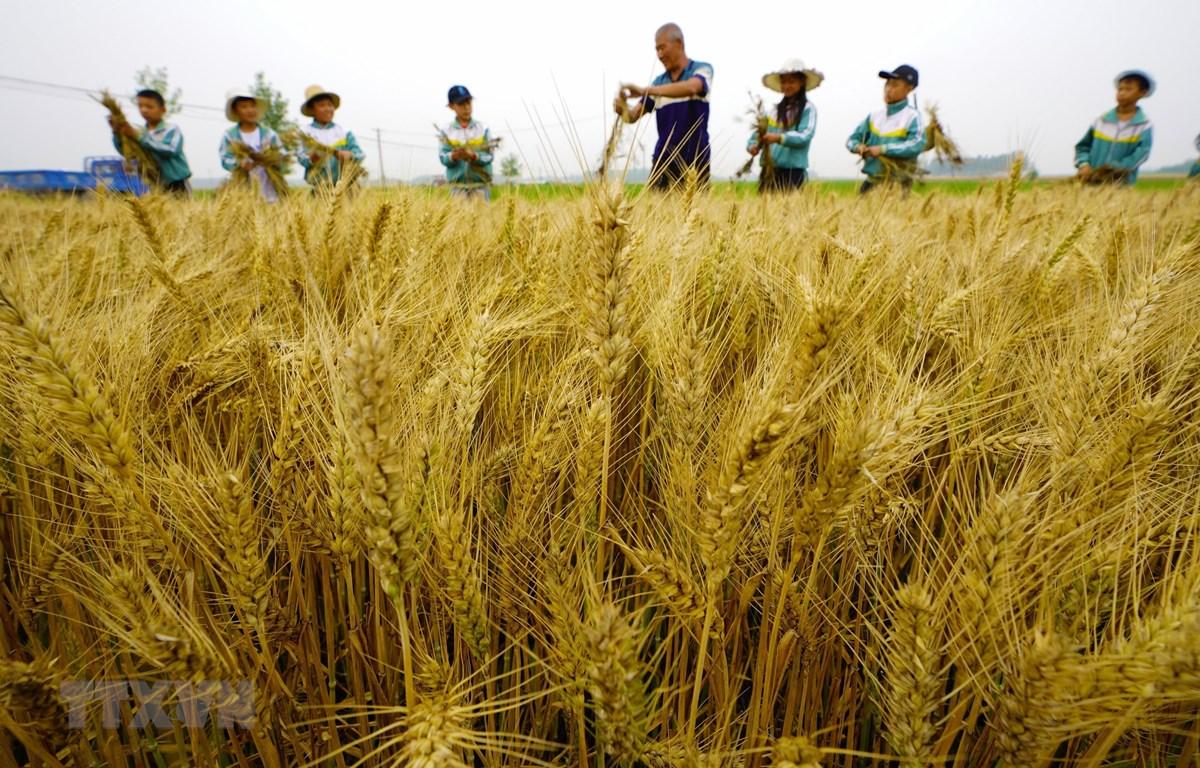 Một cánh đồng lúa mỳ ở tỉnh Hà Bắc, Trung Quốc. (Ảnh: THX/TTXVN)