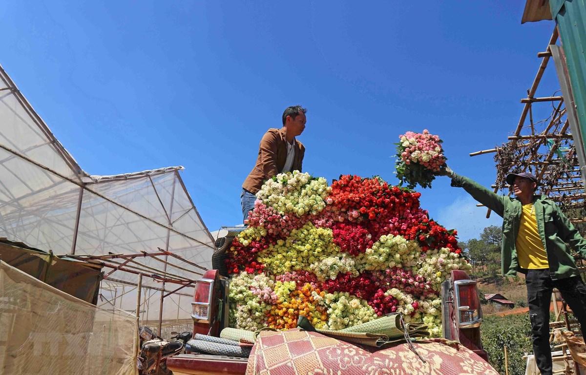 Hoa hồng được chuyển lên xe ôtô bán tải - phương tiện được mua nhờ nguồn thu nhập từ trồng hoa của nhiều hộ gia đình trong thị trấn Lạc Dương hiện nay. (Ảnh: Nguyễn Dũng/TTXVN)