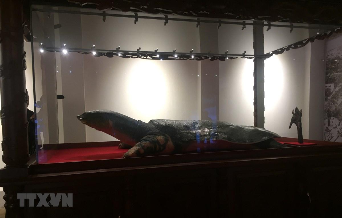 Mẫu vật Rùa Hồ Gươm được trưng bày tại đền Ngọc Sơn. (Ảnh: Đinh Thuận/TTXVN)