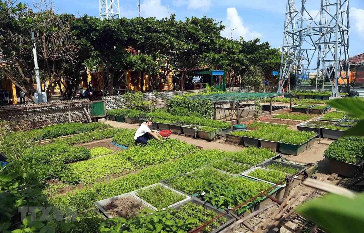 Vườn rau xanh tươi tốt góp phần cải thiện bữa ăn cho cán bộ, chiến sỹ trên đảo Trường Sa Đông. (Ảnh: Hoàng Hùng.TTXVN)