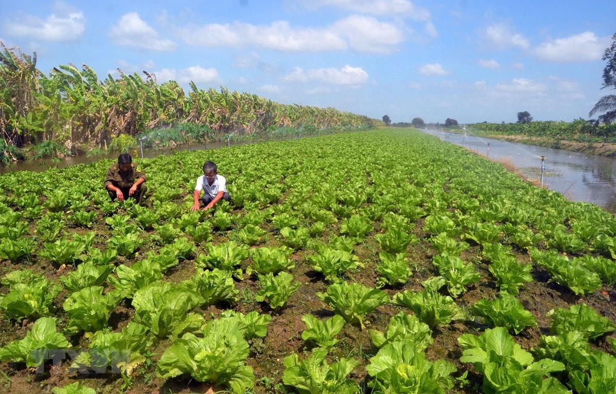Nông dân huyện U Minh Thượng trồng rau theo hướng an toàn vệ sinh thực phẩm. (Ảnh minh họa: Lê Sen/TTXVN)
