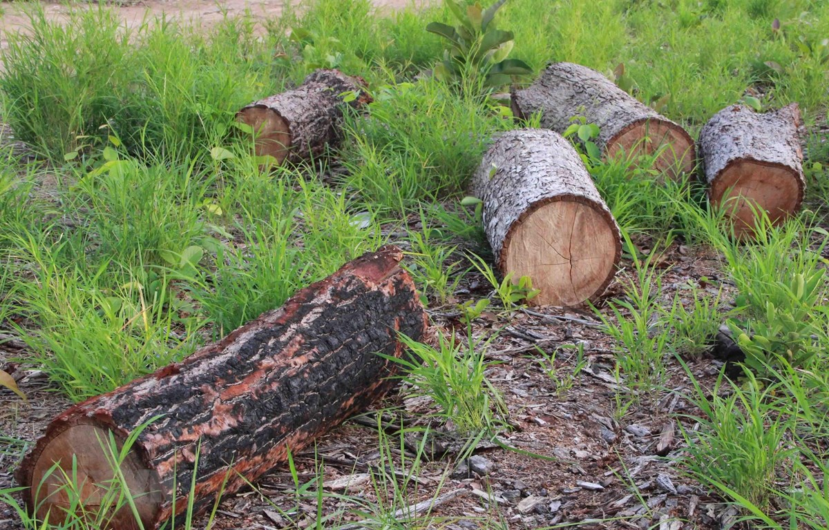 Gần 20ha rừng tự nhiên bị phá trắng ở huyện Ea Súp, Đắk Lắk. (Ảnh: Phạm Cường/TTXVN)
