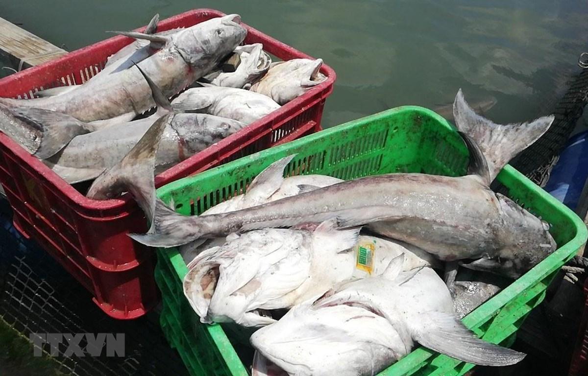 Cá biển nuôi trên khu vực Sông Rạng bị chết hàng loạt . (Ảnh: Hoàng Nhị/TTXVN)