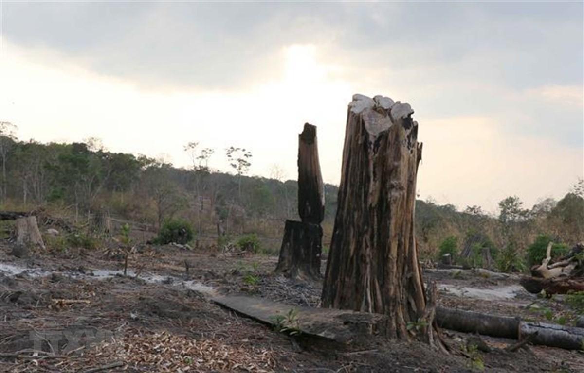 Hiện trường một vụ phá rừng tại huyện Mang Yang, tỉnh Gia Lai được phát hiện giữa tháng 3/2019. (Ảnh: Dư Toán/TTXVN)
