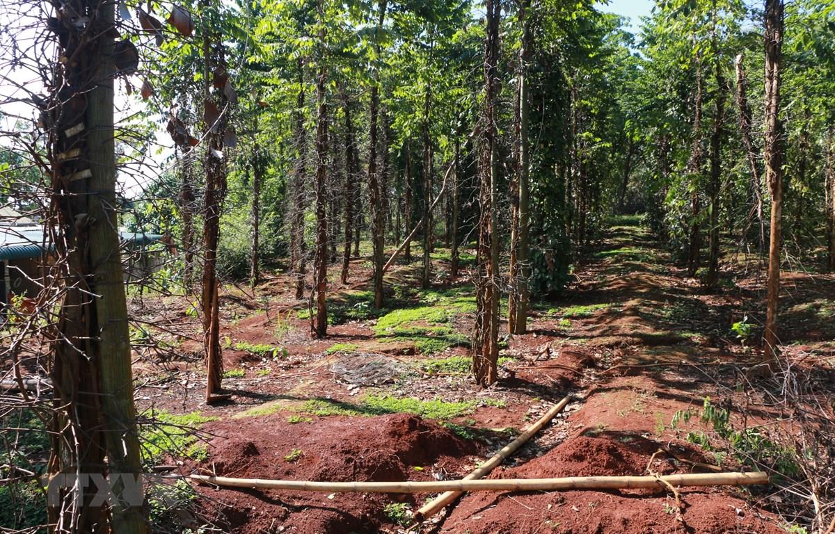 Xã Đắk Ơ có 530 ha hồ tiêu bị nhiễm bệnh; trong đó có 230 ha bị xóa sổ do tiêu nhiễm bệnh bị chết. (Ảnh: Dương Chí Tưởng/TTXVN)