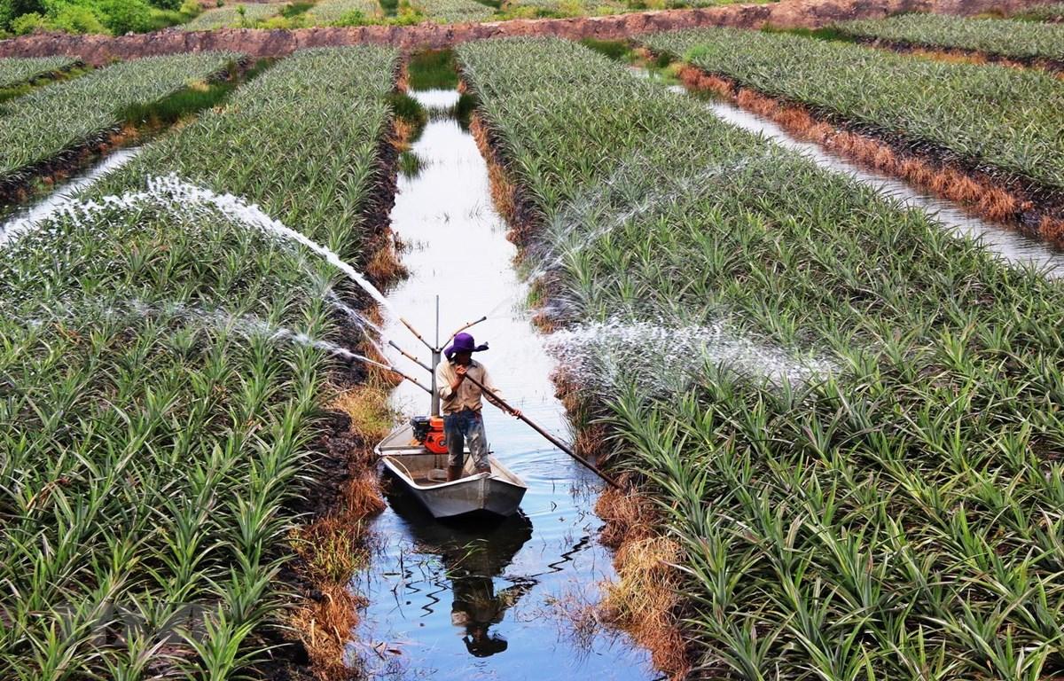 Phun nước tưới chăm sóc khóm (dứa) theo mô hình nông nghiệp công nghệ cao tại Trang trại của nông dân Nguyễn Văn Sáu ở ấp Bình Hòa, xã Bình Thạnh, huyện Trảng Bàng, tỉnh Tây Ninh. (Ảnh: Lê Đức Hoảnh/TTXVN)