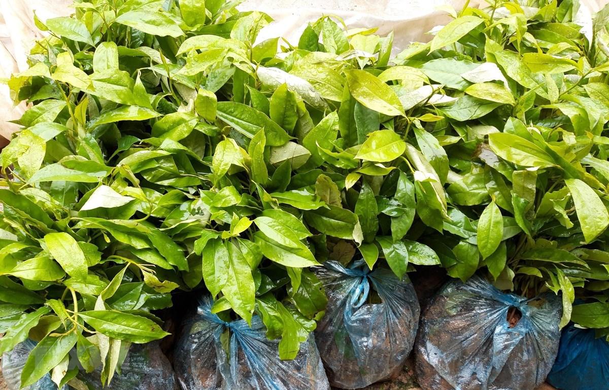Số cây mỡ giống được hỗ trợ cho người dân xã Hưng Đạo, huyện Bình Gia, Lạng Sơn. (Ảnh: Quang Duy/TTXVN)