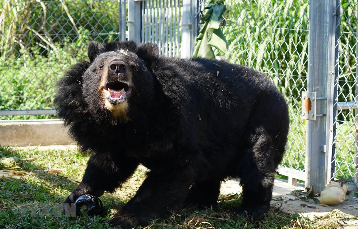 Cá thể gấu được giải cứu và chăm sóc tại Trung tâm. (Ảnh: Thùy Dung/TTXVN)