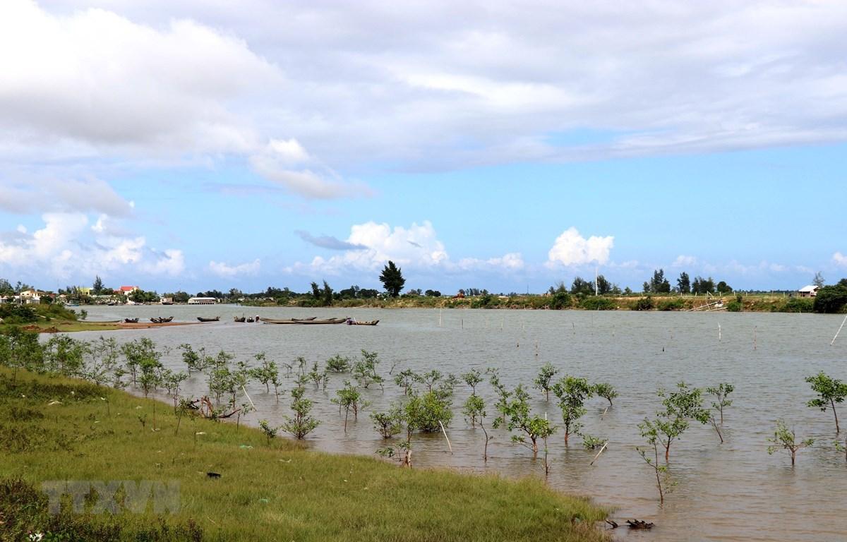 Khu rừng ngập mặn được trồng ở cửa sông Thạch Hãn. (Ảnh minh họa: Nguyên Lý/TTXVN)