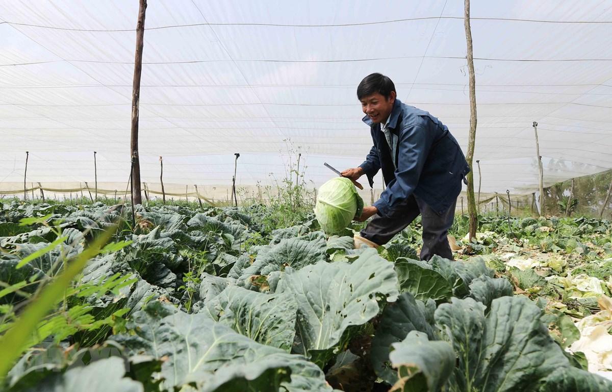 Một nhà vườn thu hoạch bắp cải. (Ảnh: Nguyễn Dũng/TTXVN)