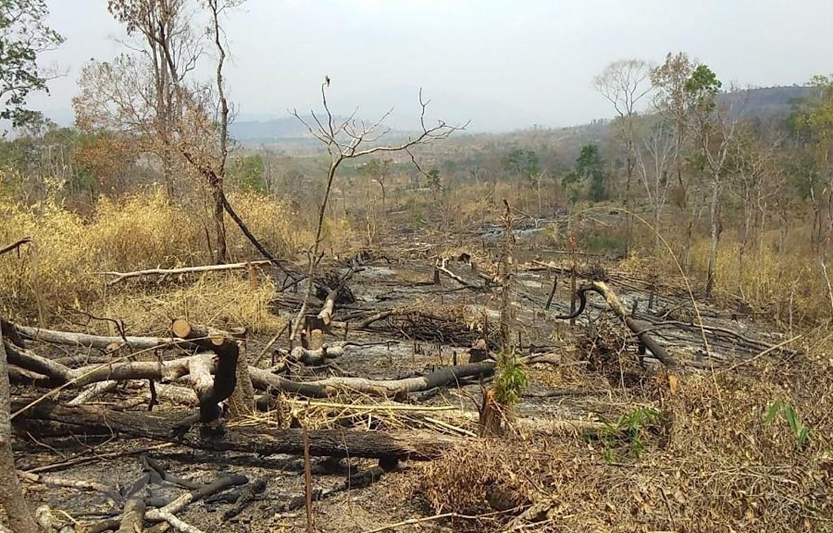 Rừng bị phá tại lâm phần do Công ty TNHH MTV Lâm nghiệp Kông Chiêng quản lý. (Ảnh: Hồng Điệp/TTXVN)