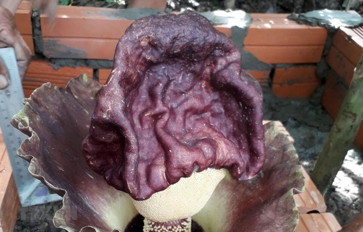 Hoa cây khoai nưa mọc trong sân nhà ông Danh Tóc. (Ảnh: Lê Sen/TTXVN)