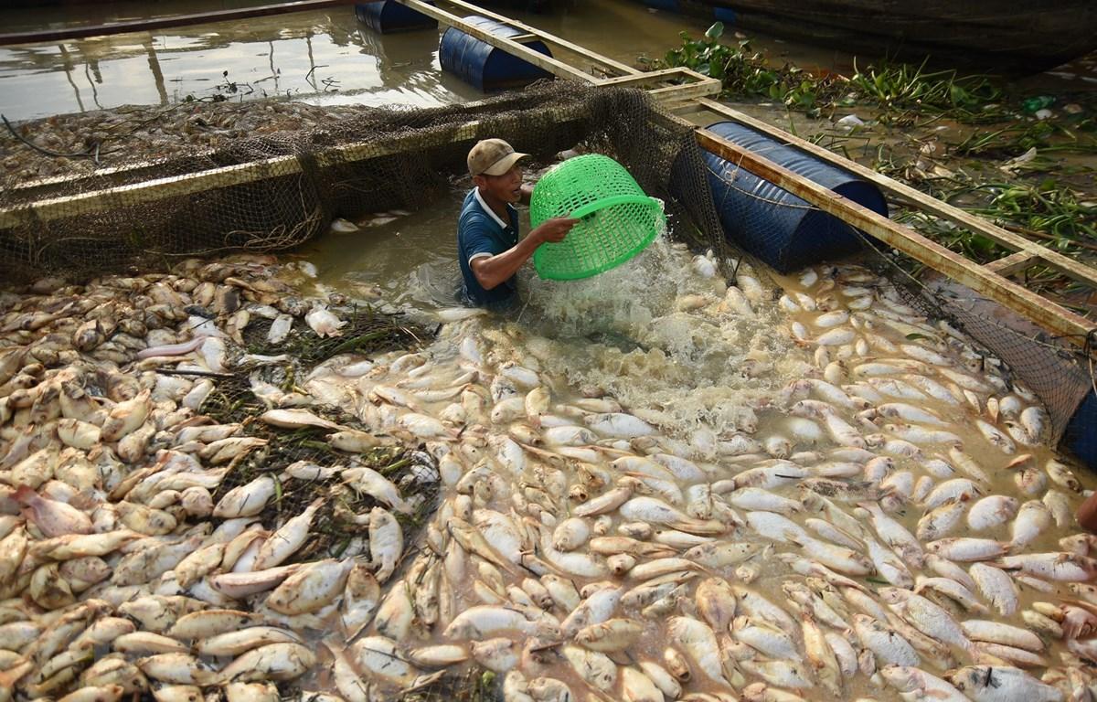 Hàng trăm tấn cá chết trắng bè được người dân thu gom làm phân bón. (Ảnh: Lê Xuân/TTXVN)