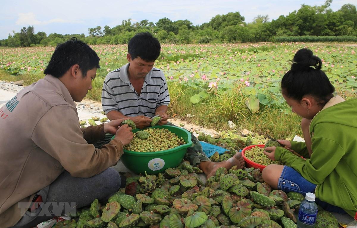 Thu hoạch sen ở xã Quảng Lợi, huyện Quảng Điền, Thừa Thiên-Huế. (Ảnh: Hồ Cầu/TTXVN)