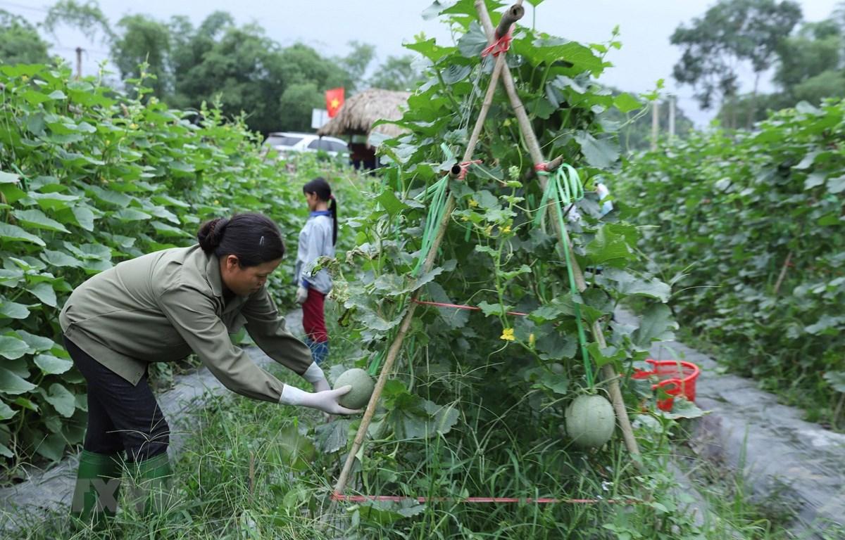 Mô hình hợp tác sản xuất dưa lưới giống Nhật Bản tại xã Kim Phượng, huyện Định Hóa. (Ảnh minh họa: Hoàng Nguyên/TTXVN)