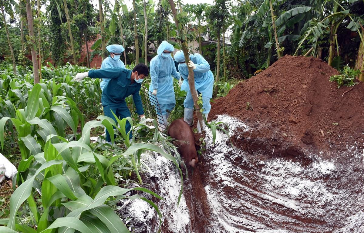 Cơ quan chức năng tiến hành tiêu hủy đàn lợn 55 con mắc dịch tả Châu Phi của gia đình ông Trần Đức Định, xã Phước Hòa, thị xã Phú Mỹ vào ngày 3/7. (Ảnh: Hoàng Nhị/TTXVN)