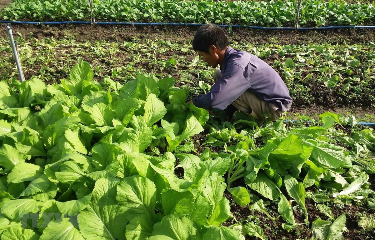 Thu hoạch rau trồng theo hướng hữu cơ của gia đình ông Lương Văn Quang, phường Long Hương, thành phố Bà Rịa. (Ảnh: Hoàng Nhị/TTXVN)