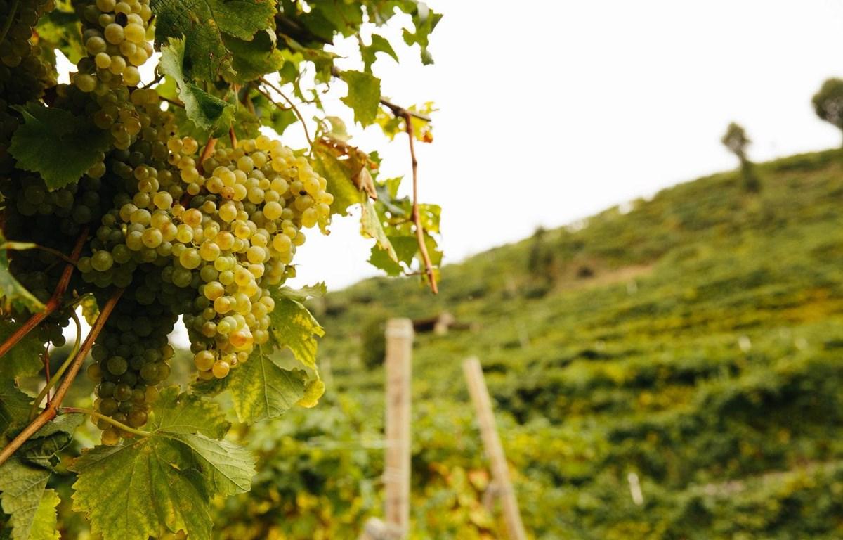 Vùng đồi nho Prosecco. (Nguồn: lecolture.com)
