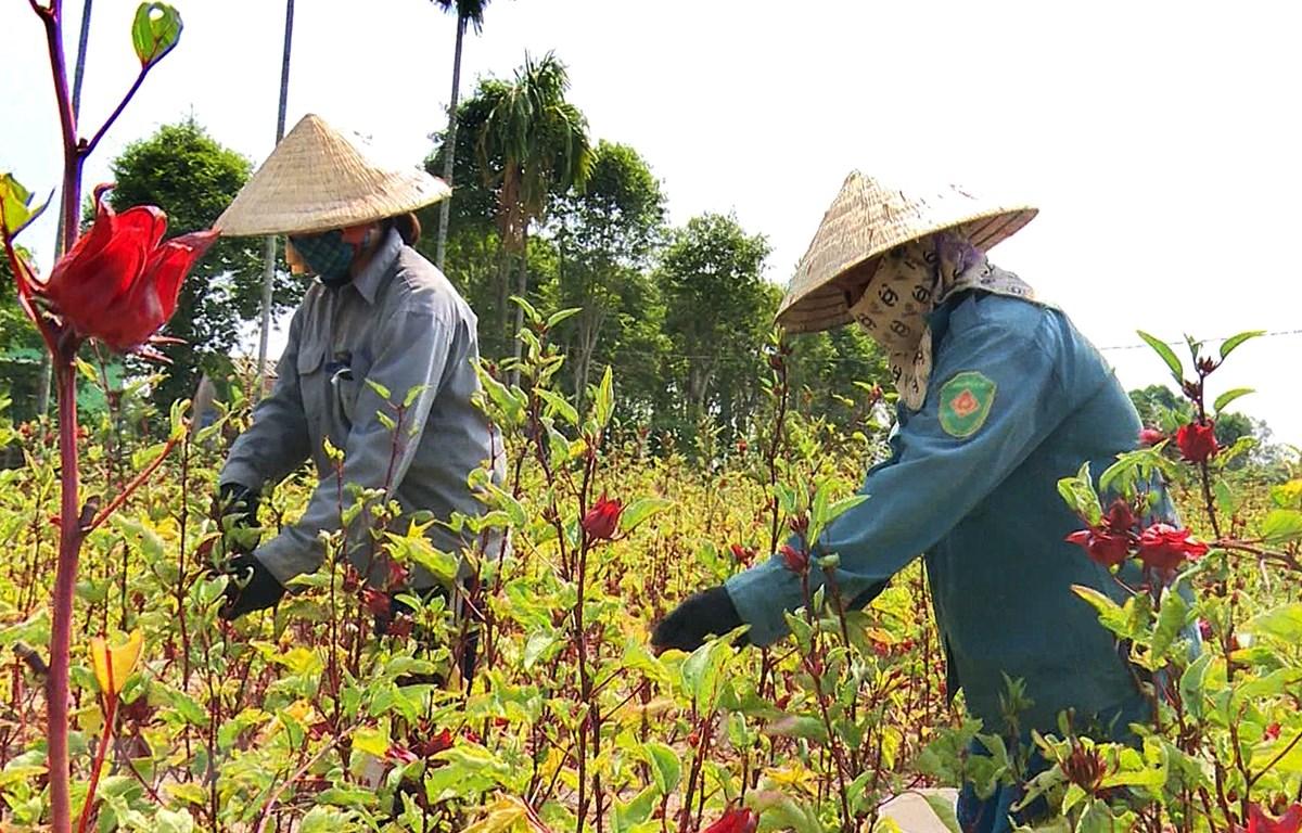 Bà con nông dân ở xã Phong An, huyện Phong Điền thu hoạch hoa atiso đỏ. (Ảnh minh họa: Hồ Cầu/TTXVN)