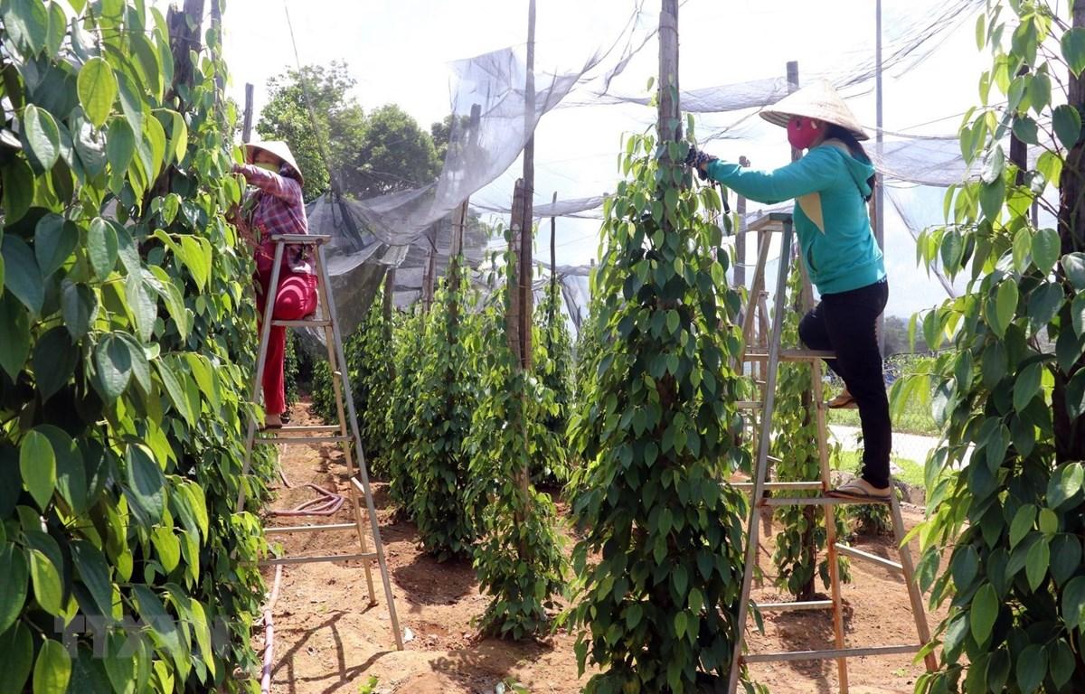 Trồng hồ tiêu theo hướng canh tác hữu cơ ở huyện Phú Quốc (Kiên Giang). (Ảnh: Lê Huy Hải/TTXVN)
