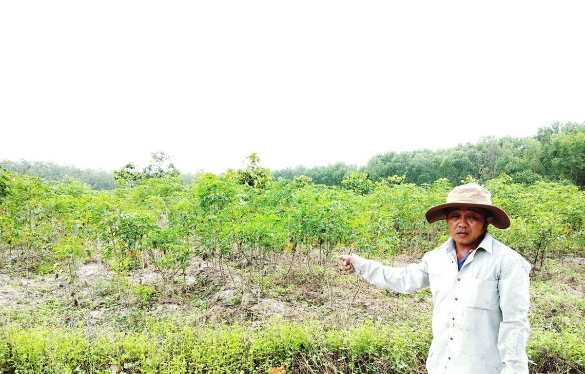 Gần 6ha rừng trồng tại tiểu khu 14, Khu rừng Văn hóa-Lịch sử Chàng riệc, huyện Tân Biên, Tây Ninh bị chặt phá trái pháp luật để trồng sắn. (Ảnh: Lê Đức Hoảnh/TTXVN)