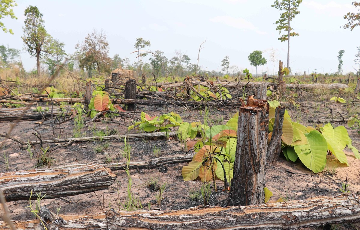 Hiện trường vụ phá rừng tại xã biên giới Ia Meur. (Ảnh: Dư Toán/TTXVN)