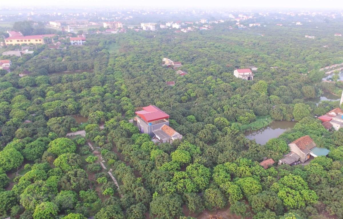 Diện tích trồng nhãn theo mô hình VietGAP tại xã Hồng Nam, thành phố Hưng Yên. (Ảnh: Phạm Kiên/TTXVN)