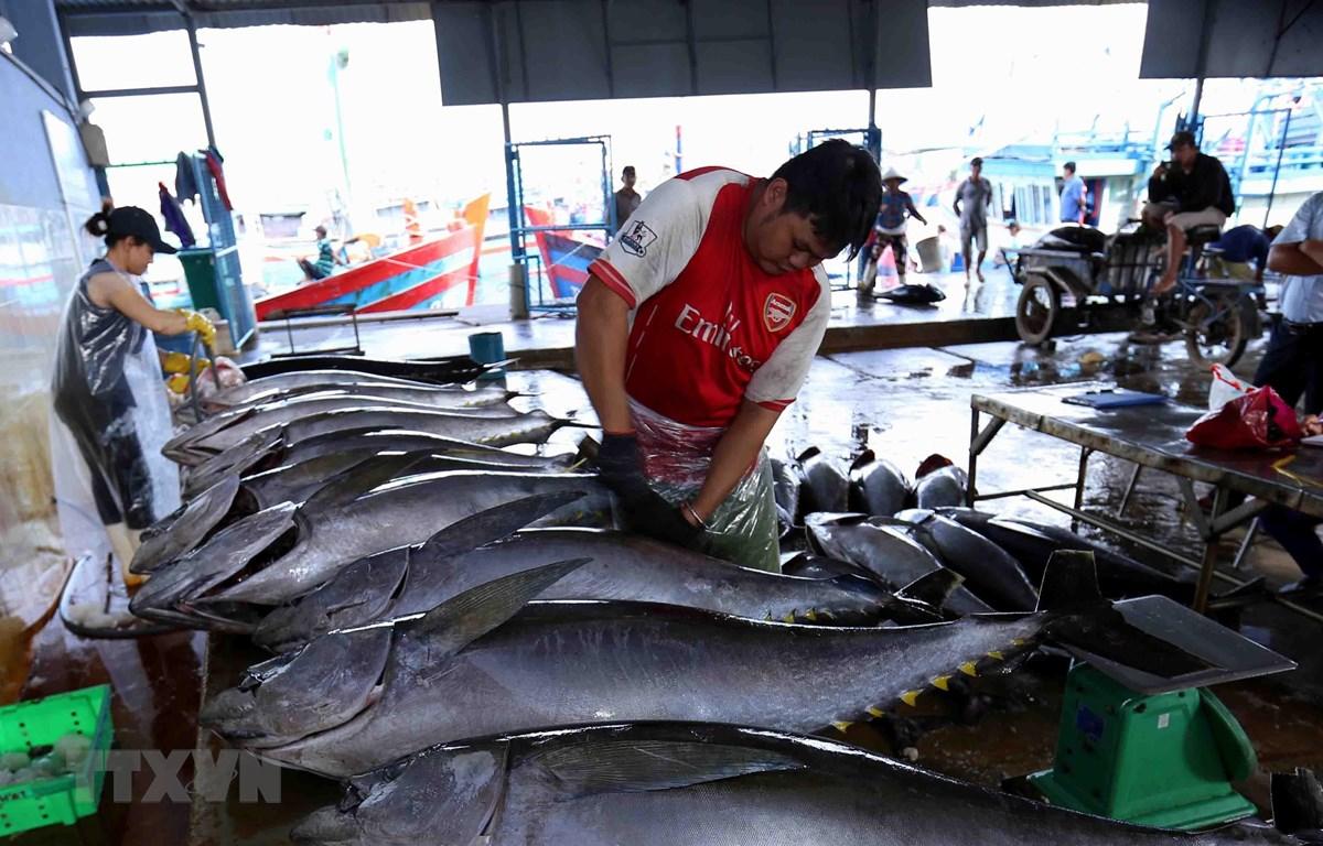Ngư dân vận chuyển cá ngừ đại dương khai thác được cung cấp cho Công ty TNHH Hải Hà, cảng cá Tam Quan Bắc, huyện Hoài Nhơn. (Ảnh: Vũ Sinh/TTXVN)