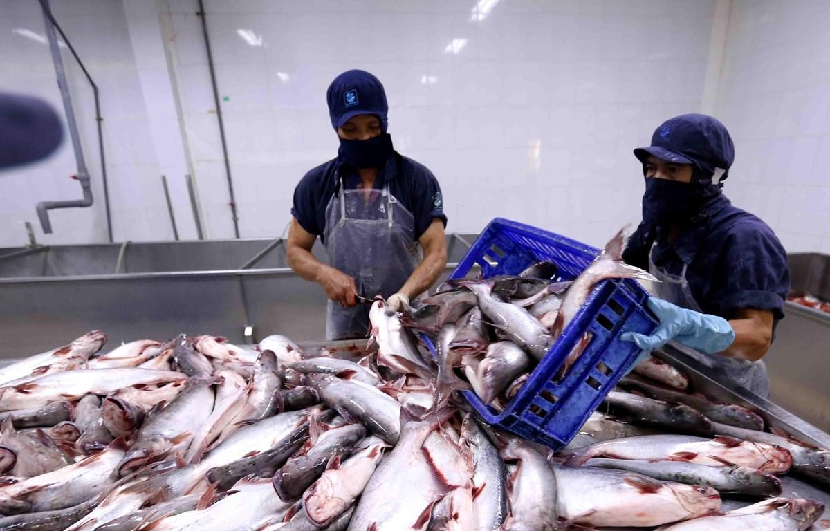 Chế biến cá tra xuất khẩu tại nhà máy của Công ty XNK thủy sản Cửu Long An Giang. Ảnh: TTXVN